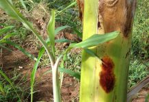 Carefully selected banana plant