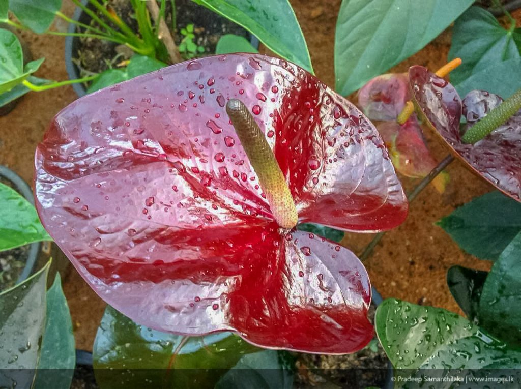 Anthurium Chocolate Giant