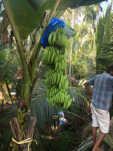 Amban Banana Bunch