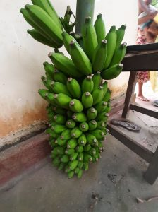 Kandula Banana Bunch