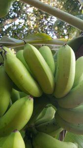 Kolikuttu Banana Bunch