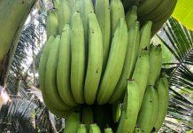 Greengrow Banana - Amban