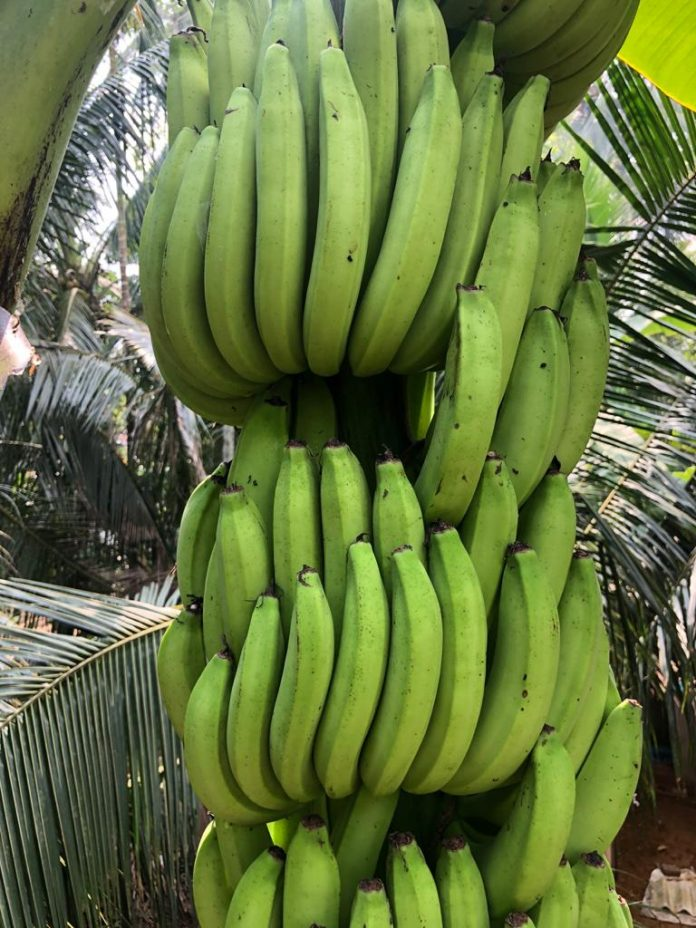 Greengrow Banana - Amban
