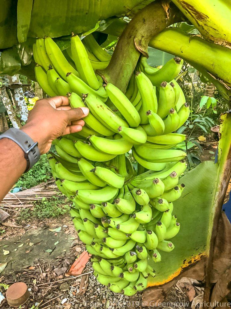 Greengrow Banana - Dwarf Amban