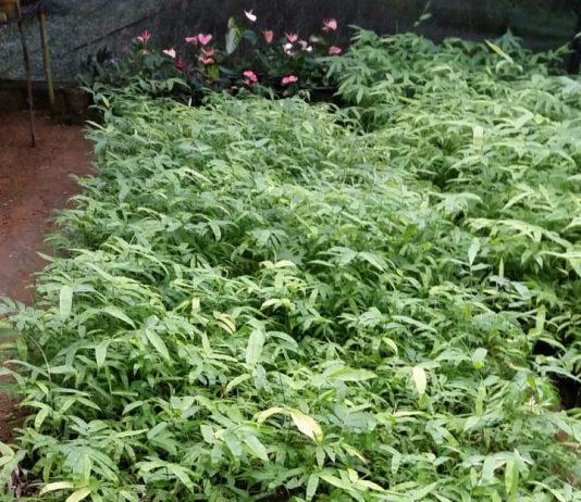 Bamboo Dendrocalamus species