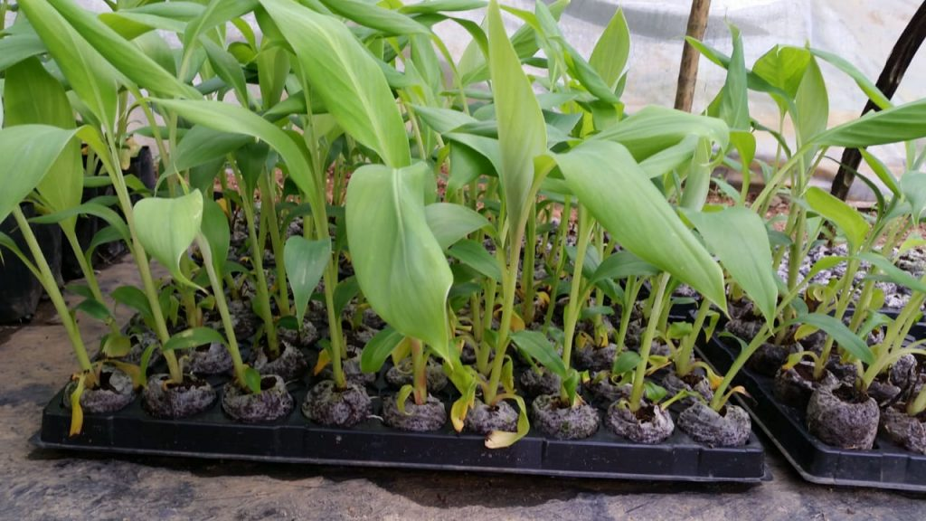 Greengrow Banana - Kolikuttu