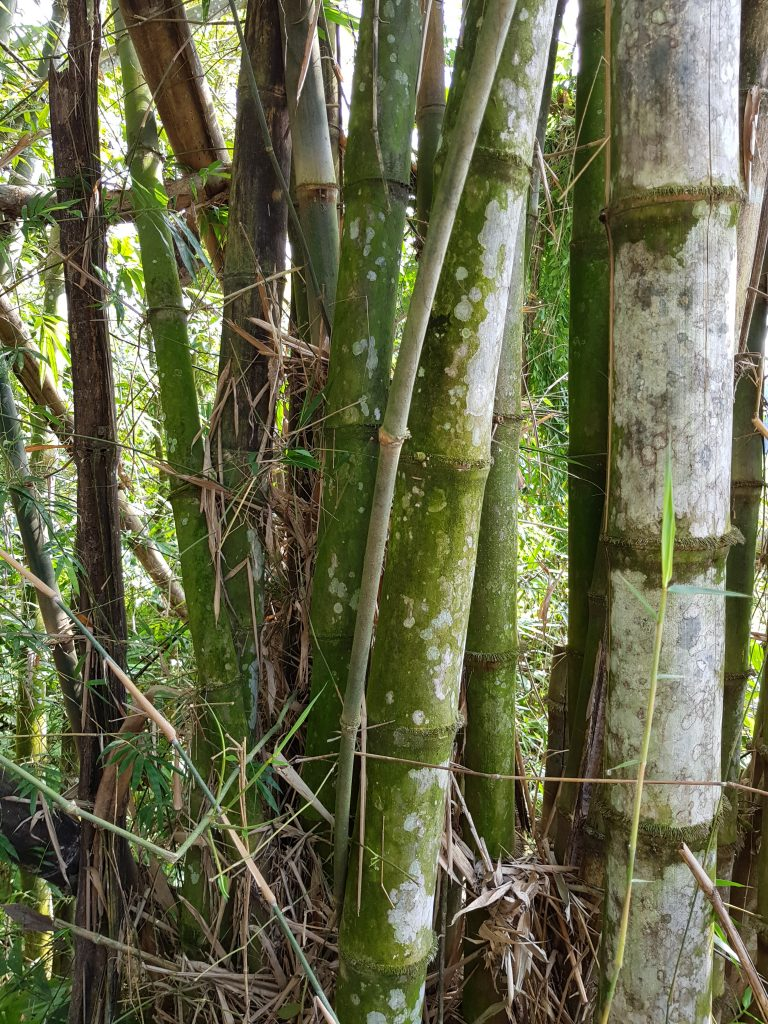 Bamboo Mother plant