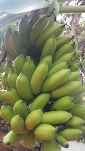 Banana Kolikuttu