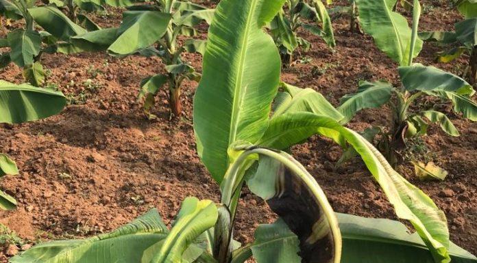 Banana Nutrients Deficiency