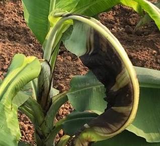 කැල්සියම් (Ca) හිග Banana Nutrients Deficiency- Calcium