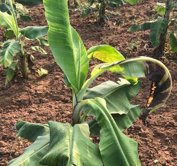 බහුතර පෝෂක හිග, Banana Nutrients Deficiency
